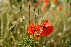 Early morning red poppy field scene, nature Royalty Free Stock Photo