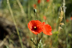 Early morning red poppy field scene, nature Royalty Free Stock Photography