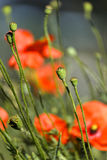 Early morning red poppy field scene, nature Stock Photography