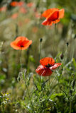 Early morning red poppy field scene, nature Stock Image