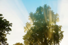 Early morning rising sun's rays through the leaves of a tree Royalty Free Stock Photography