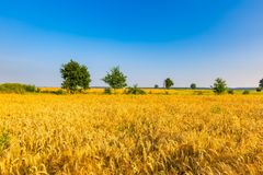 Early morning on rye field. Stock Photography
