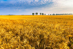 Early morning on rye field. Royalty Free Stock Photo