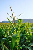 Early Morning Side Lighting on Corn Field Royalty Free Stock Photo
