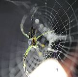Spider in the garden. Early in the morning, spiders sleep online, covered with dew. One light through the darkness Royalty Free Stock Photo