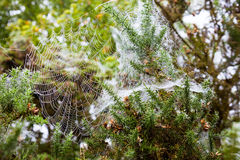 Early Morning spiderweb Stock Images