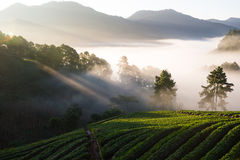 Early morning at strawberries field at Doi Ang Khang. stock photo