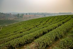 Tea plantation in northern Thailand royalty free stock images