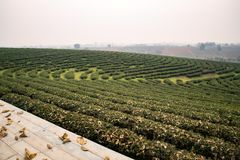 Tea Plantation in Chiang Rai Thailand stock images