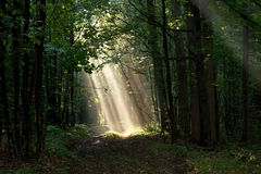 Early morning sun beams in woods Stock Photos