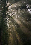 Early morning sun shining through birch branches Royalty Free Stock Photos