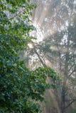 Early morning sun shining through birch branches Stock Photography