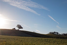 Early morning sun shining next to Valley Oak tree on hill in Paso Robles wine country in the Central Valley of California USA Royalty Free Stock Images
