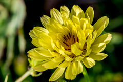 Early Morning Sun Shot Of A Gorgeous Wild Texas Dandelion. Royalty Free Stock Images