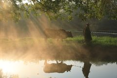 Old farmer lead the cattle under the ancient banyan tree stock images