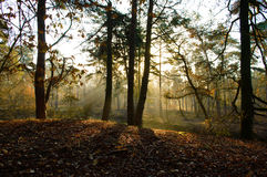Early morning sun through trees in woods. Forest floor with early morning sunlight coming through trees and highlighting fallen leaves Stock Images