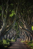 Early morning sunlight in beech alley The Dark Hedges, County Antrim in Northern Ireland. Stock Photography