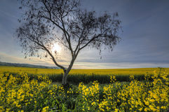 Early morning sunlight filters across canola fields Royalty Free Stock Photography