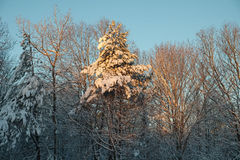 Early Morning sunlight lights up the fresh snow covered boughs o Royalty Free Stock Photos