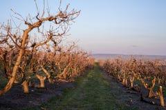Early morning sunrise on an Idaho fruit orchard Royalty Free Stock Image