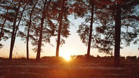 Early morning with sunrise in pine forest. beautiful pine forest in winter the sun shines through trees nature landscape. Early morning with sunrise in pine stock footage
