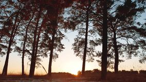 Early morning with sunrise in pine forest. beautiful pine forest in winter the sun shines through trees nature landscape. Early morning with sunrise in pine stock video