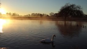 Sun rise with the swan paddling across. Early morning sunrise with the swan paddling across the lake stock footage