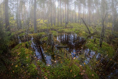 Early morning in the swamp. Autumn in the forest in the swamp Royalty Free Stock Photos