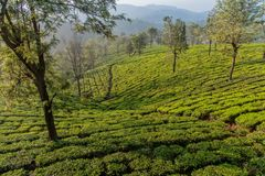 Early morning in Tea estate. View of Tea plantation in Connoor, Tamil Nadu. Closer to Ooty which is also known as queen of hills royalty free stock photo