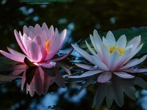 Early morning of two water lily or lotus flower Marliacea Rosea. Pink and white nymphaeas glow with a clear reflection royalty free stock image