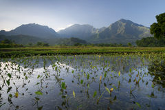 Early morning view of Taro fields in Hanalei, Kauai, Hawaii Stock Photo
