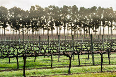 Early Morning Vines Royalty Free Stock Images