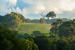 Early Morning Vineyard Royalty Free Stock Images
