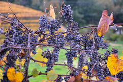 Early morning in the vineyards of Napa Valley, California, USA Stock Photo