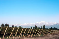 Early morning in the vineyards. Volcano Aconcagua Cordillera stock images