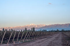 Early morning in the vineyards. Volcano Aconcagua Cordillera royalty free stock images