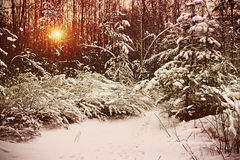 Early morning in the winter forest Royalty Free Stock Photo