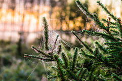 Early morning in the woods. A spider web covered with hoar frost. Hung on the spruce. Belarus, Naliboki forest Royalty Free Stock Image