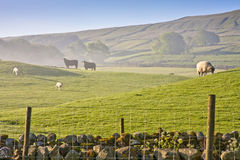 Early morning in the yorkshire dales. Early morning mist in the yorkshire dales national park and farm animals grazing on the hill side Stock Photography