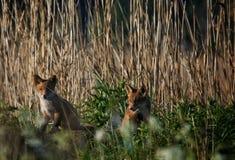 fox chubs royalty free stock photo