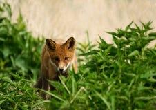 fox chubs royalty free stock image