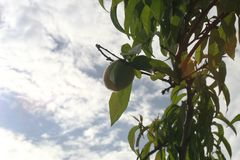 Early peach on the tree with the sky stock photography