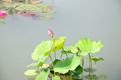In early puberty red lotus Royalty Free Stock Images