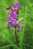 Early purple orchid. Single early purple orchid in meadow stock photo