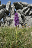 Early Purple Orchid. Orchis mascula, against Burren Dry Limestone Wall Stock Image