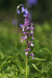 Early Purple Orchid with Bluebell royalty free stock photo