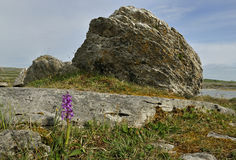 Early Purple Orchid & boulder Royalty Free Stock Image