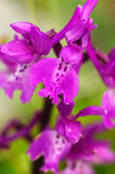 Early purple orchid flowers – Orchis mascula Stock Image