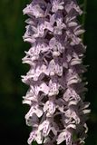 Early Purple-orchid, Mannetjesorchis, Orchis mascula stock photos