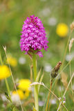 Early purple orchid orchid (Orchis mascula). An 'Early purple orchid' in a wild flower meadow in Northumberland by Bamburgh castle on the east coast of the UK stock images